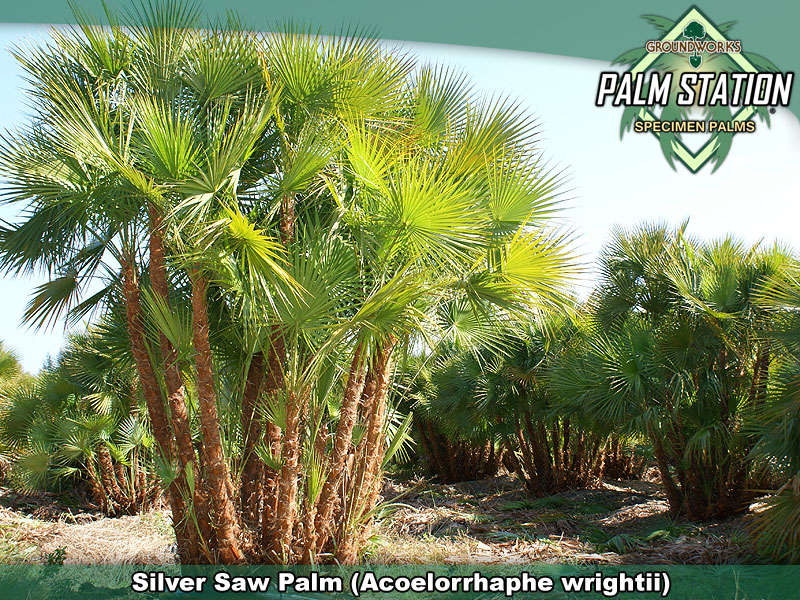 Silver Saw Palm Groundworks Palm Station
