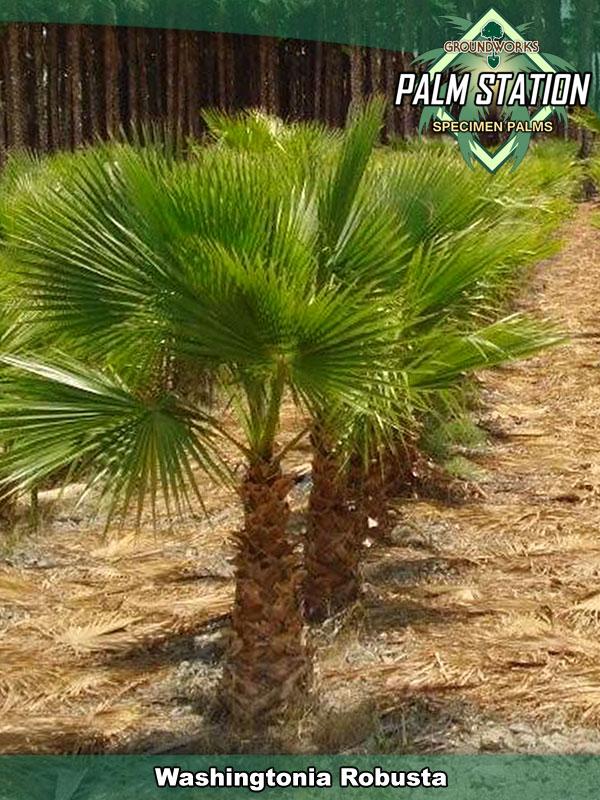 washingtonia robusta groundworks palm station. Black Bedroom Furniture Sets. Home Design Ideas